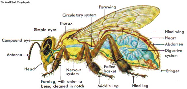 Worker Bee Sectional Anatomy Diagram