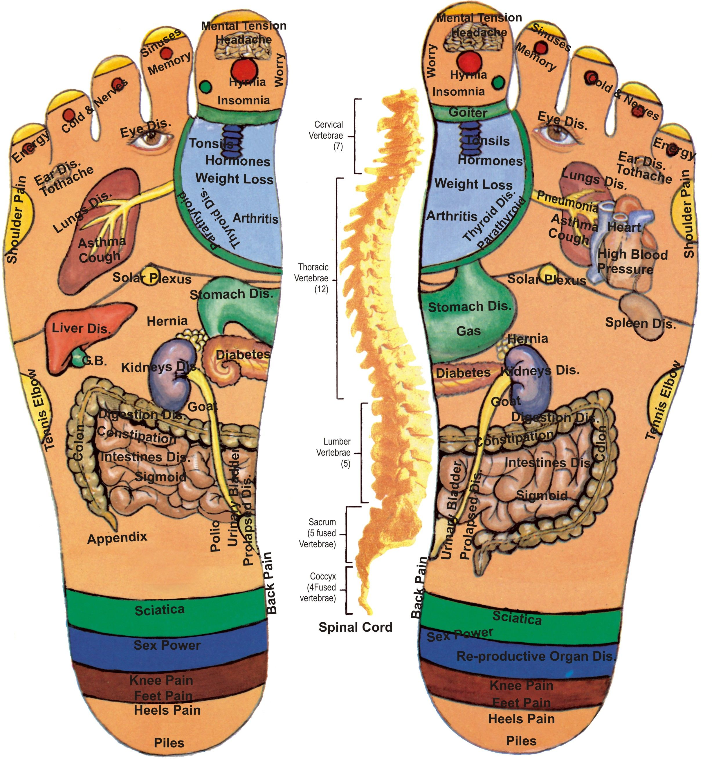 Foot Reflexology Point Relation With Human Organ Diagram