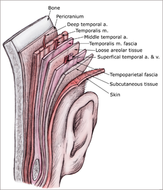 Cranial Fascia And Muscles