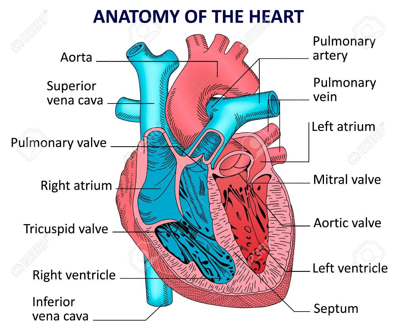 aortic valve and mitral valve location diagram  anatomy note
