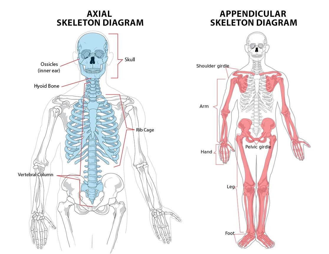 Axial Skeleton And Appendicular Skeleton In Human Body Diagram