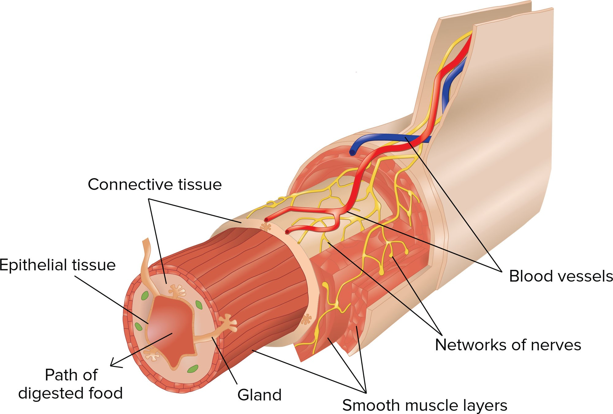 Blood Supply To Tissue Diagram