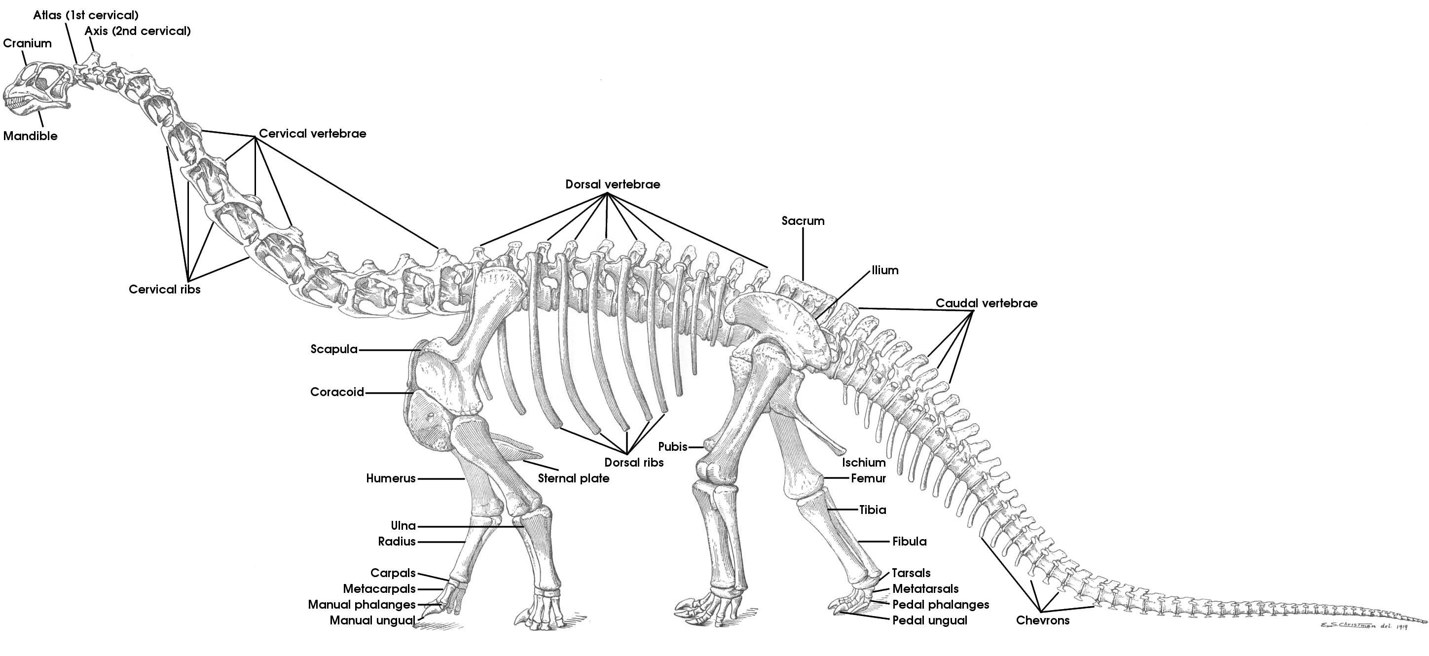 Camarasaurus Dinosaur Skeleton Anatomy Diagram