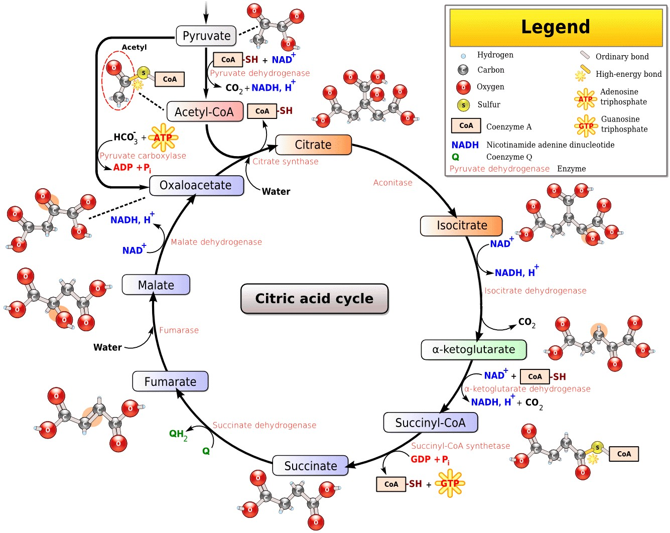 Citric Acid Cycle Diagram