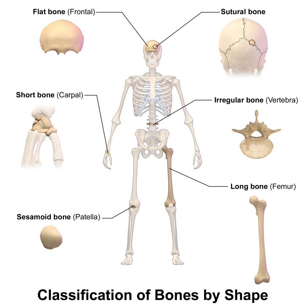 Classification Of Bones By Shape In Human Body Diagram