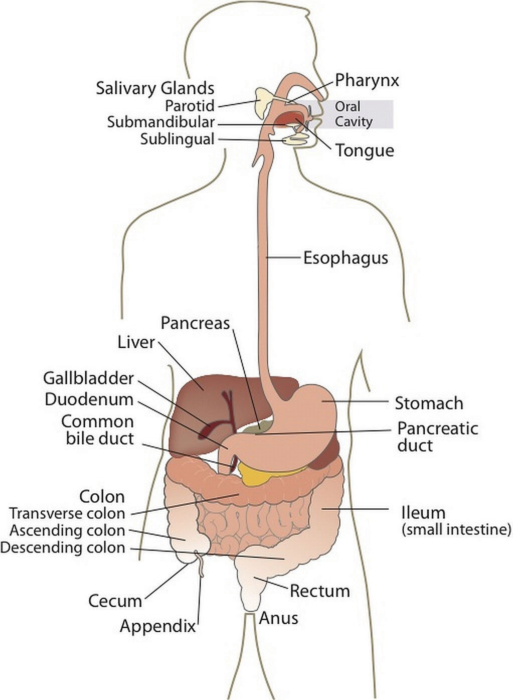 Digestive System Organ Location Anterior View
