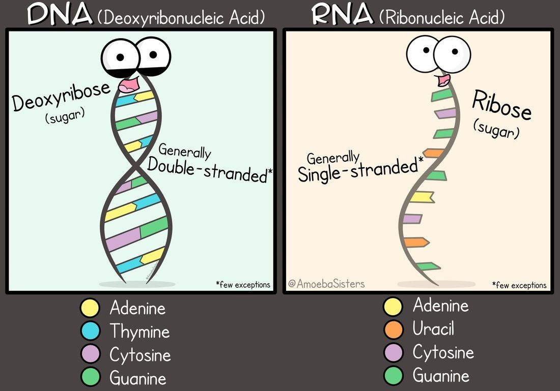 Dna (deoxyribonucleic Acid) And Rna (ribonucleic Acid) Diagram