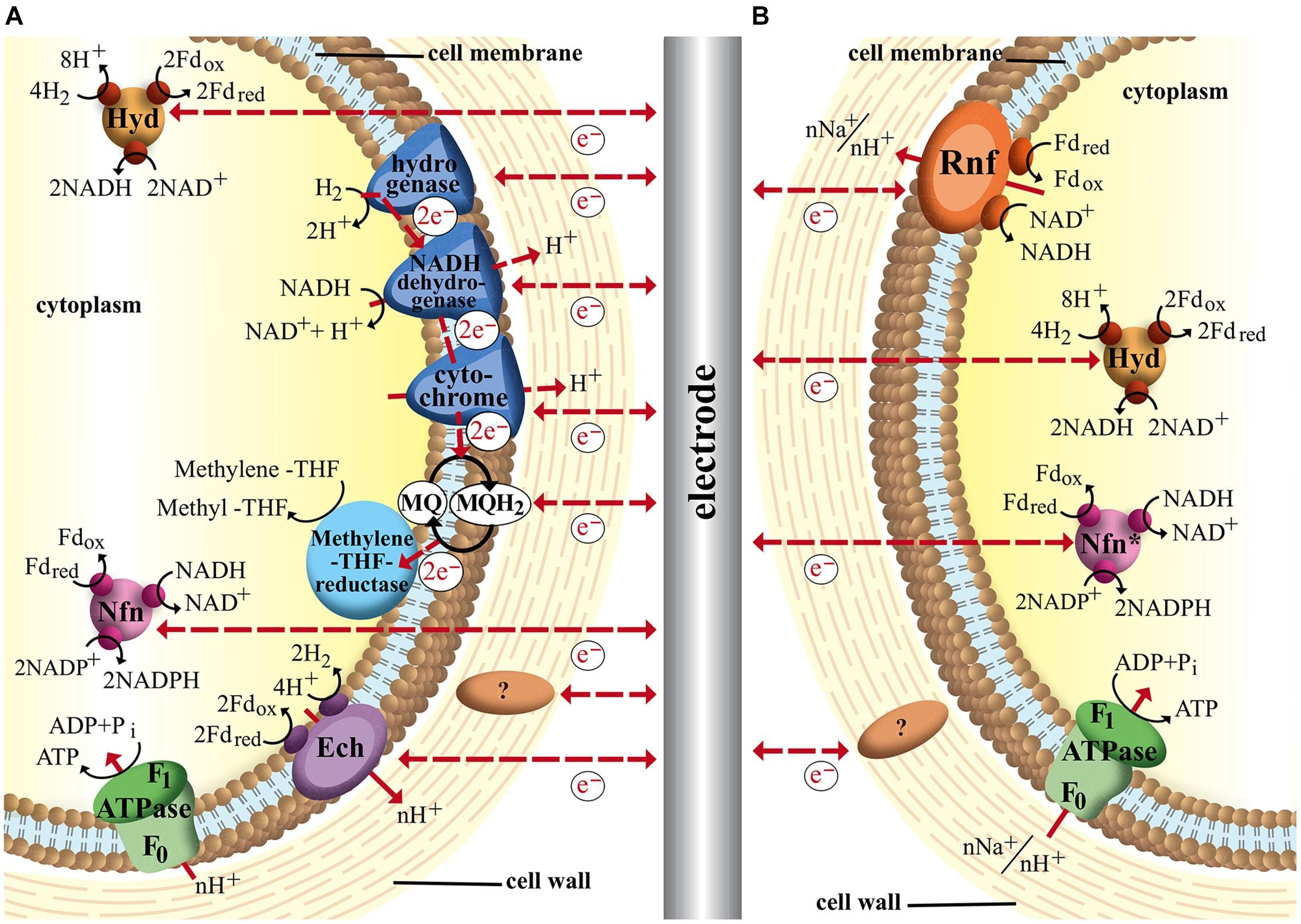 Electron Transport Chain Cell Wall Diagram