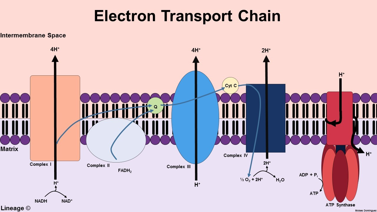 Electron Transport Chain Introduction Diagram