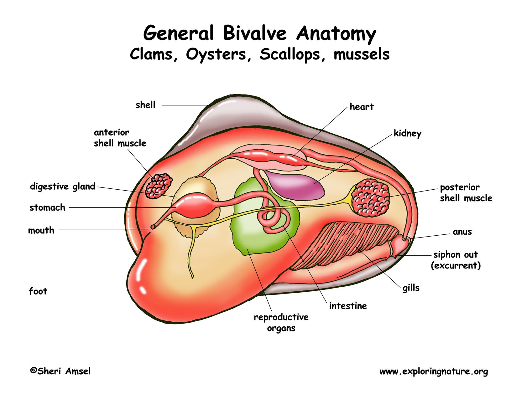 General Bivalve Anatomy Clams, Oysters, Scallops, Mussels Diagram