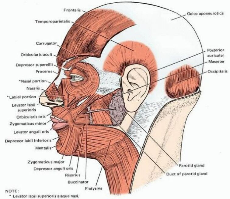 Head Muscle Lateral View In Detail
