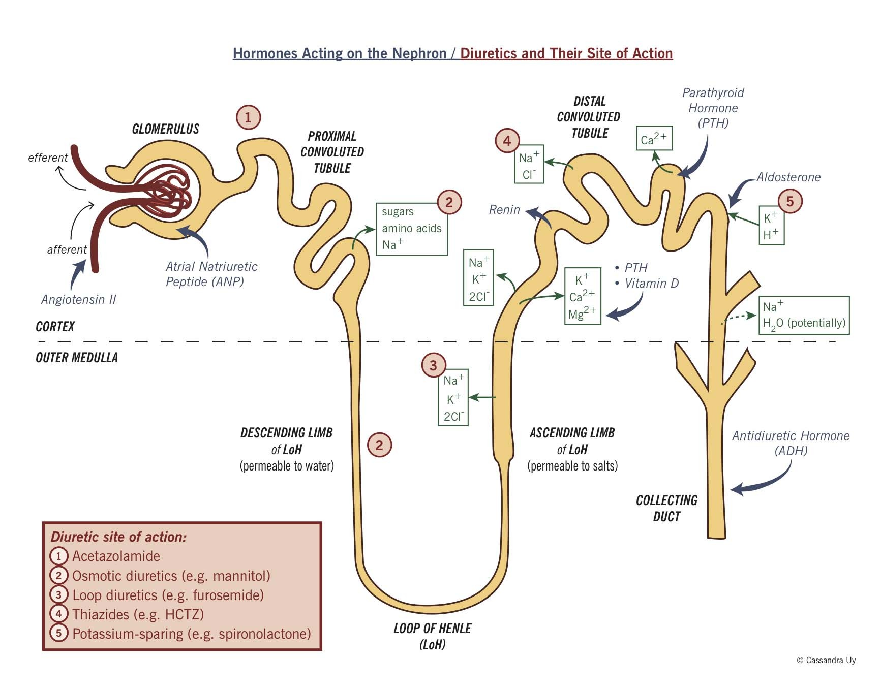 Hormones Acting On The Nephron – Diuretics And Their Site Of Action Diagram
