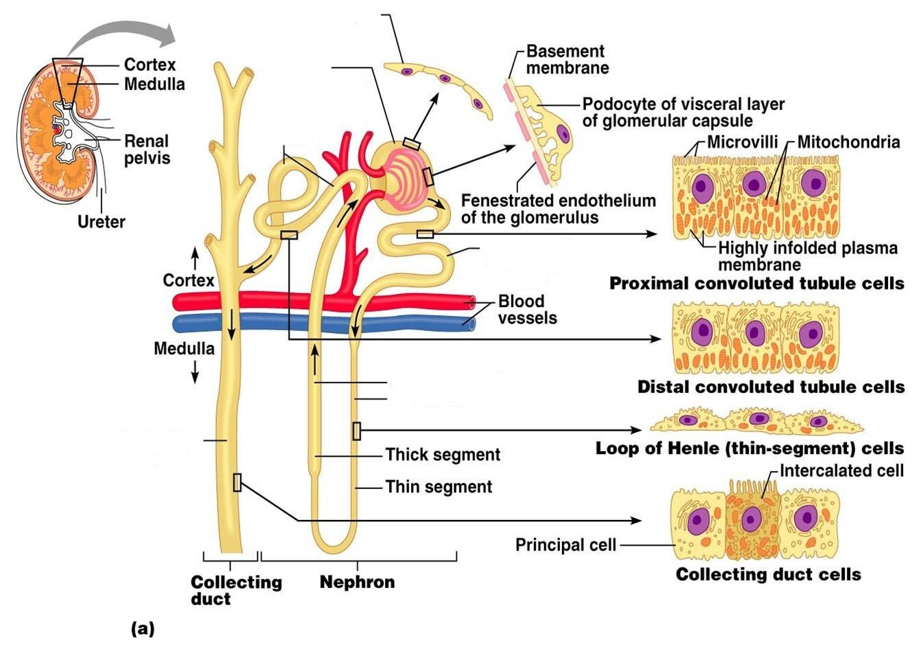 Kidney And Nephron Anatomical Structure Diagram