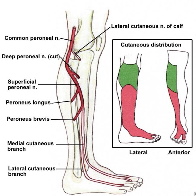 lower extremities diagram lower extremity nervous innervation diagram  lower extremity nervous innervation diagram
