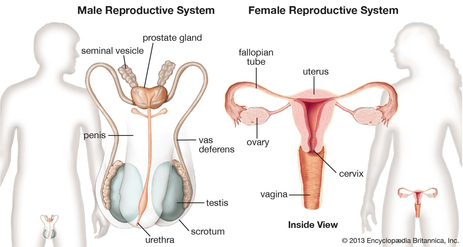 Male Reproductive System And Female Reproductive System Compare Diagram