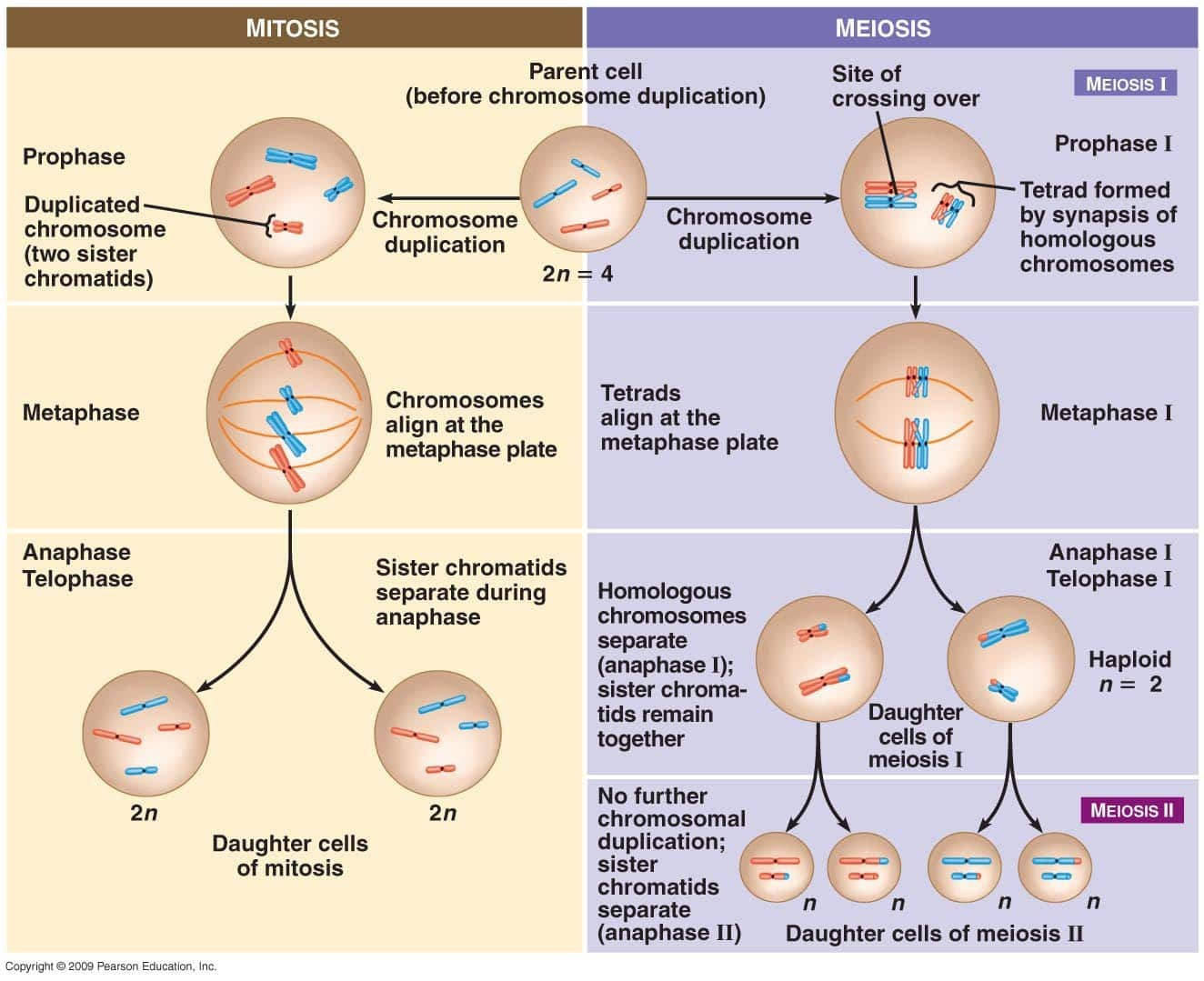 Mitosis And Meiosis Diagram