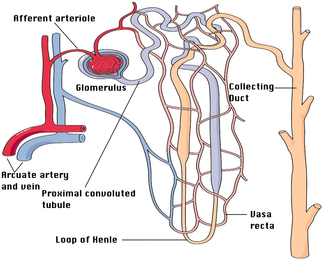 Nephron And Tubule Blood Innervation Diagram