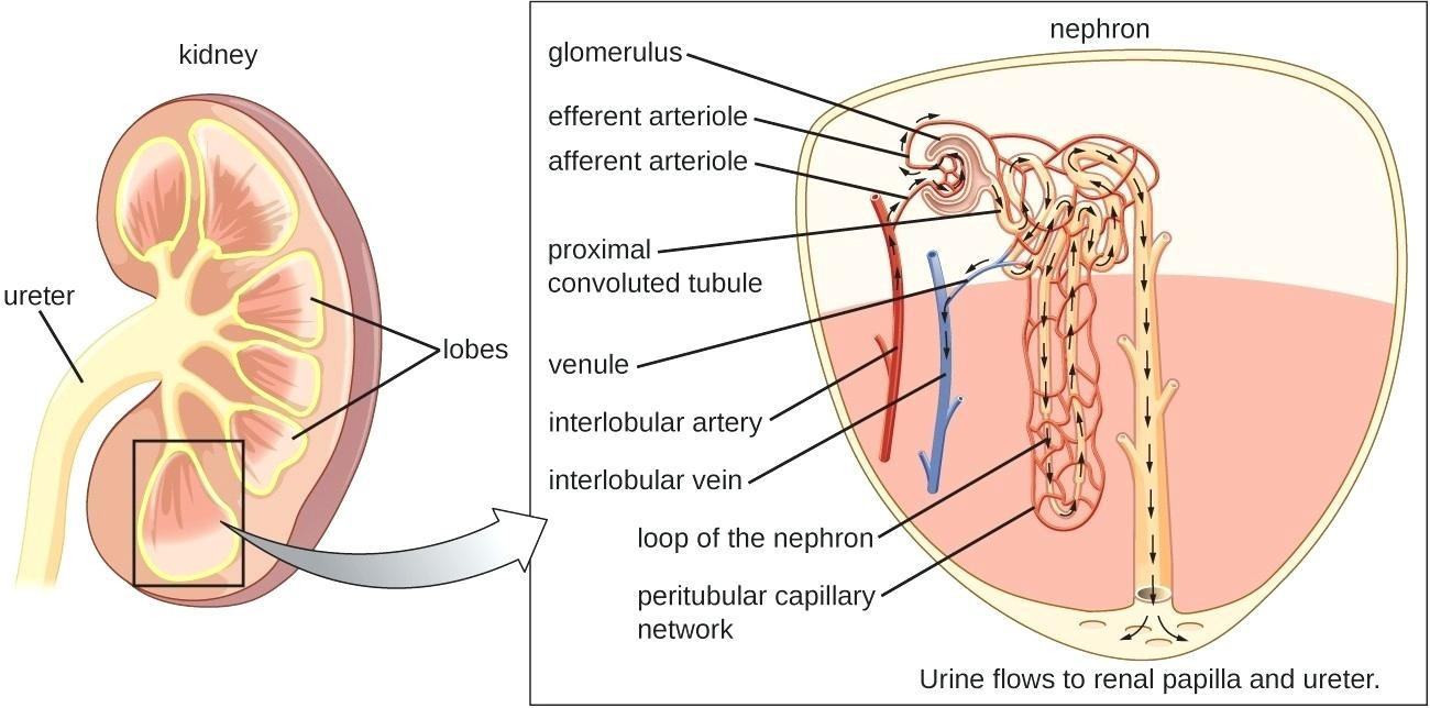 Nephron Diagram And Kidney Sectional View Diagram