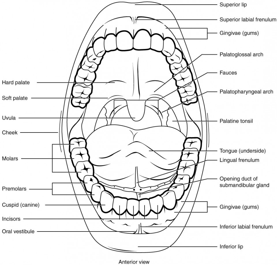 Oral Cavity And Tooth Anatomy