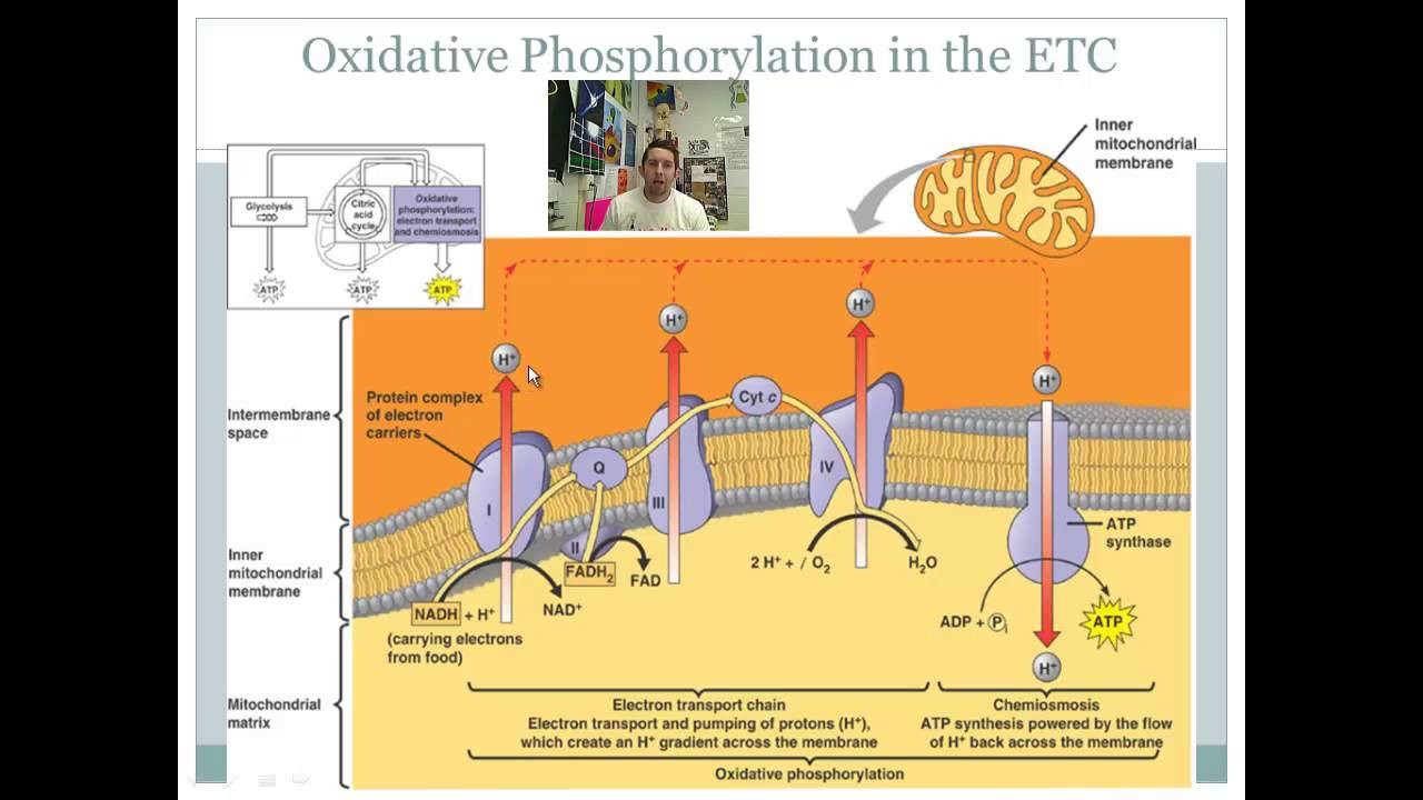 Oxidative Phosphorylation And The Electron Transport Chain Diagram