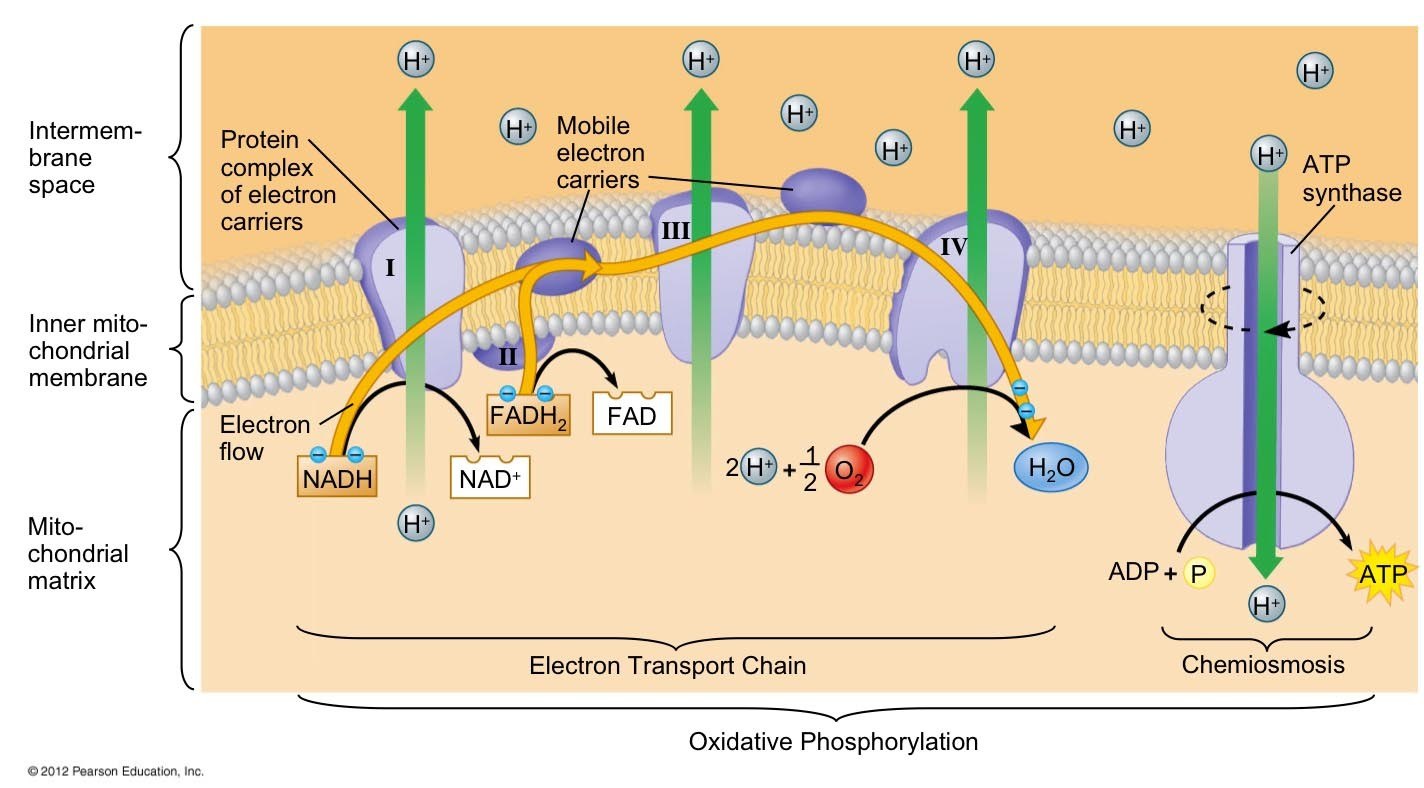 Oxidative Phosphorylation, Electron Transport Chain And Chemiosmosis Diagram