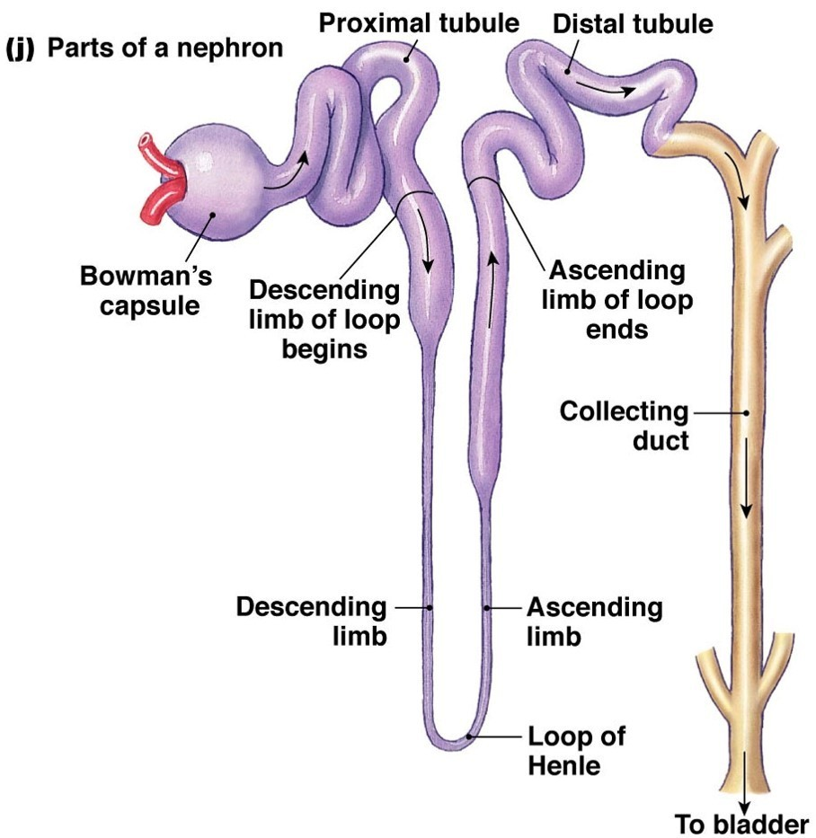 Parts Of The Nephron Diagram