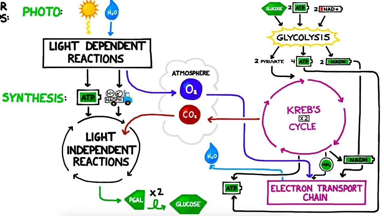 Photosynthesis Vs Cellular Respiration Comparison Diagram