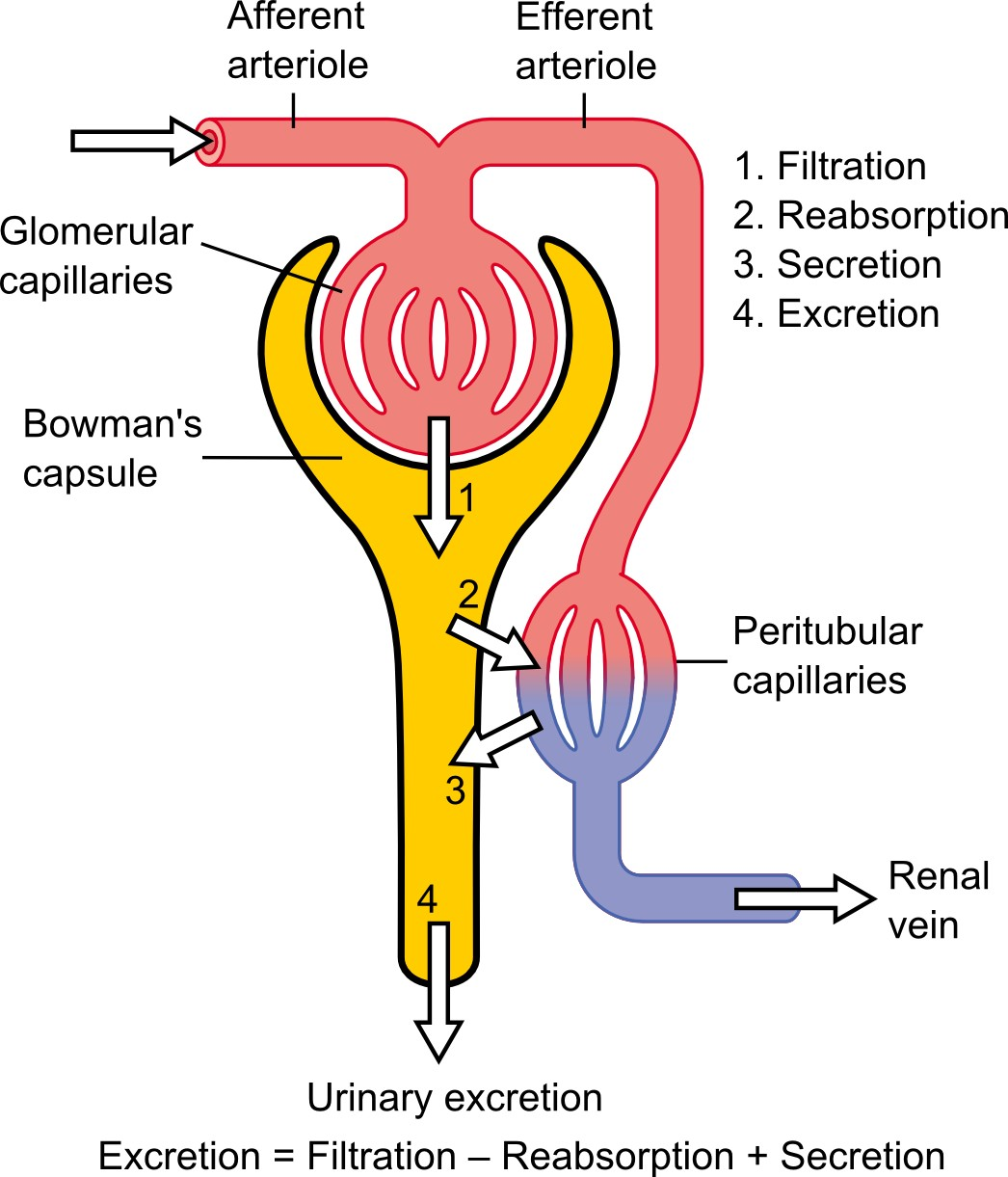 Physiology Of Nephron Diagram