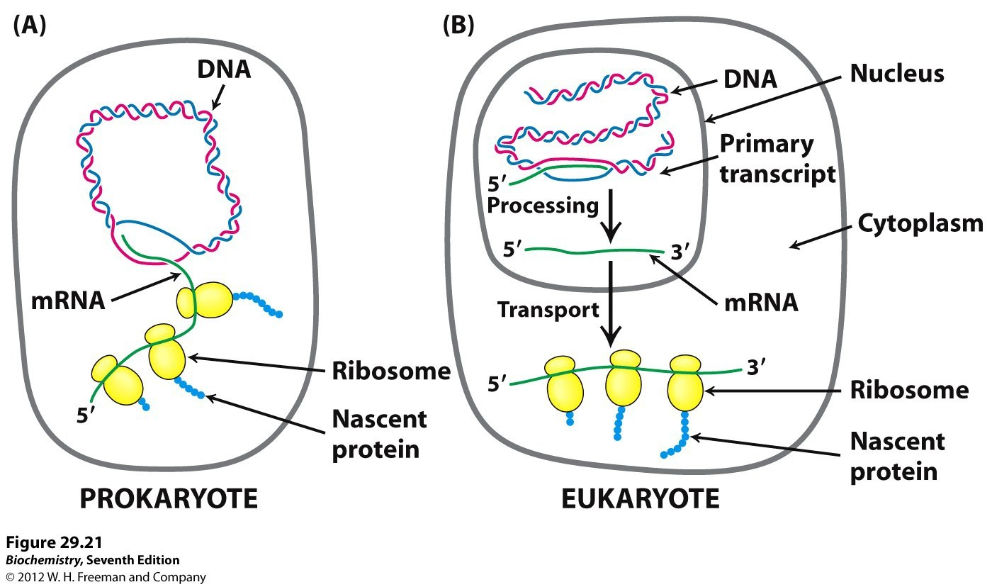 Prokaryote And Eukaryote Structure Diagram