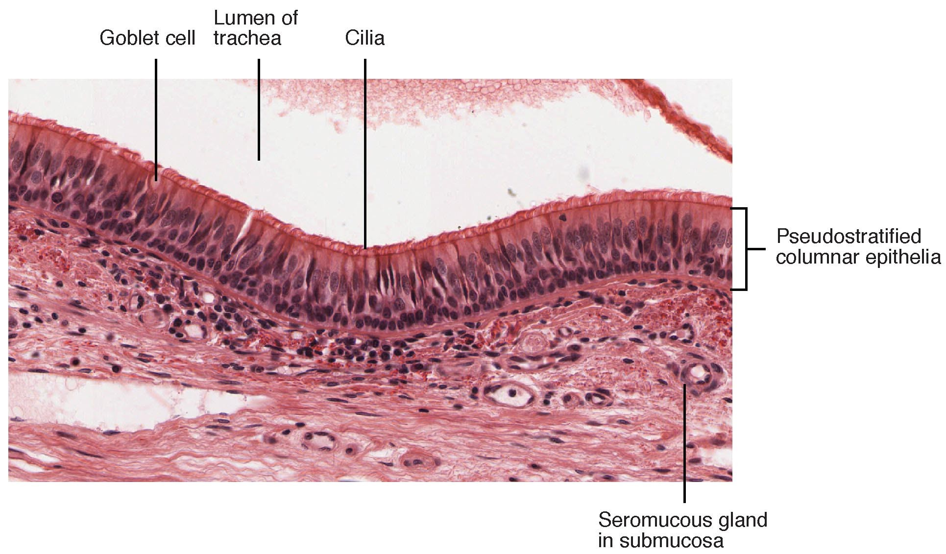 Pseudostratified Epithelium Structure