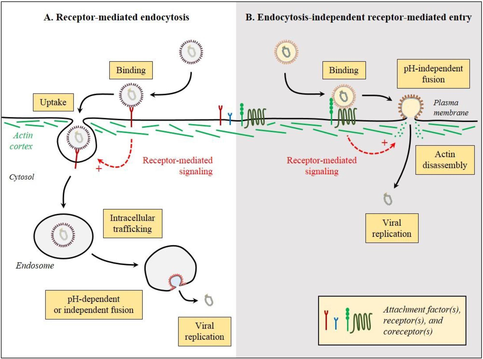 Receptor Mediated Endocytosis And Endocytosis-independent Receptor-mediated Entry Diagram