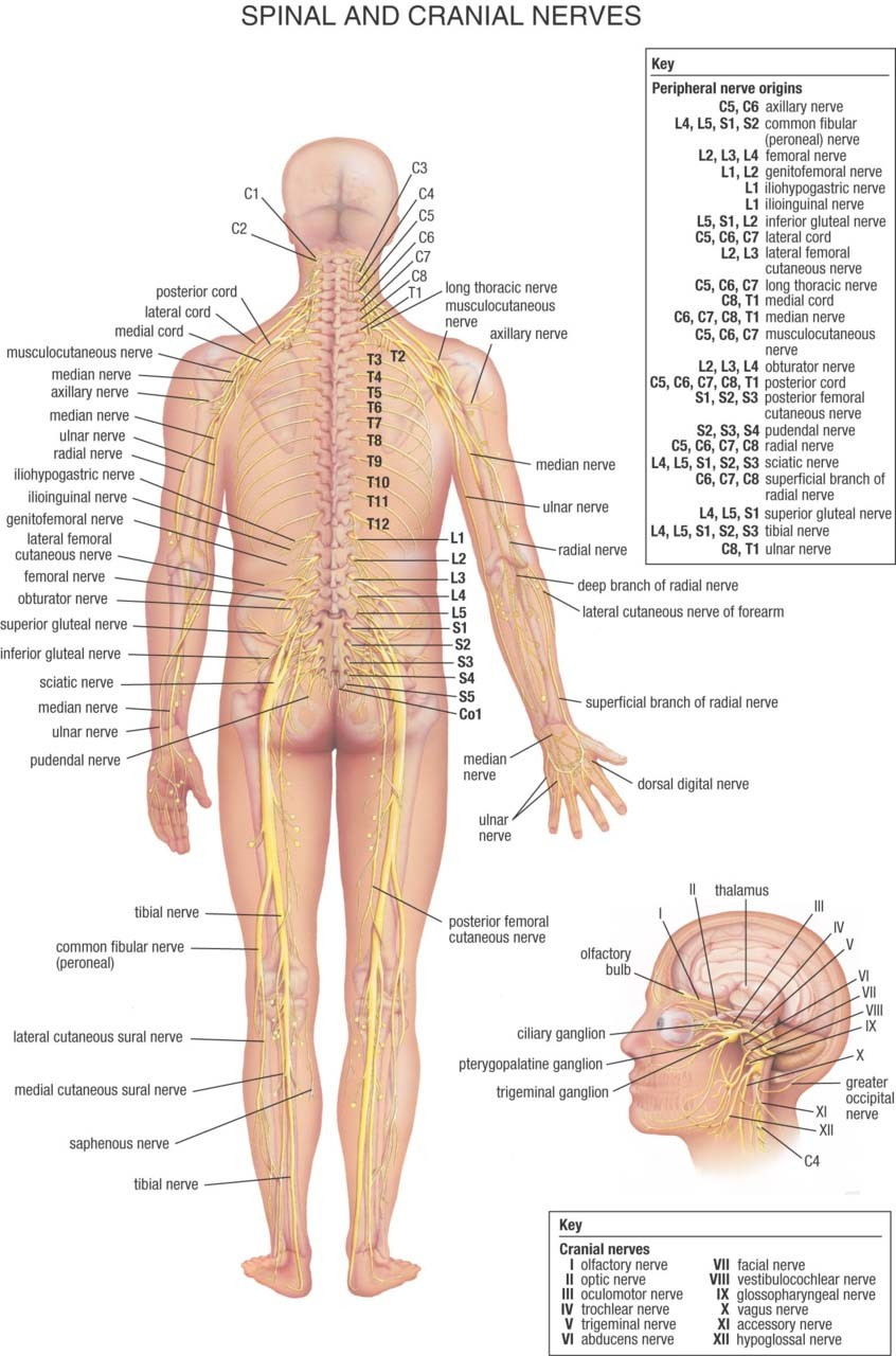 Spinal And Cranial Nerves Diagram Posterior View In Human Body