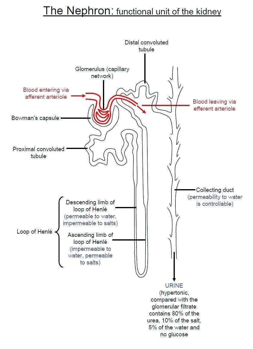 The Nephron Functional Unit Of The Kidney