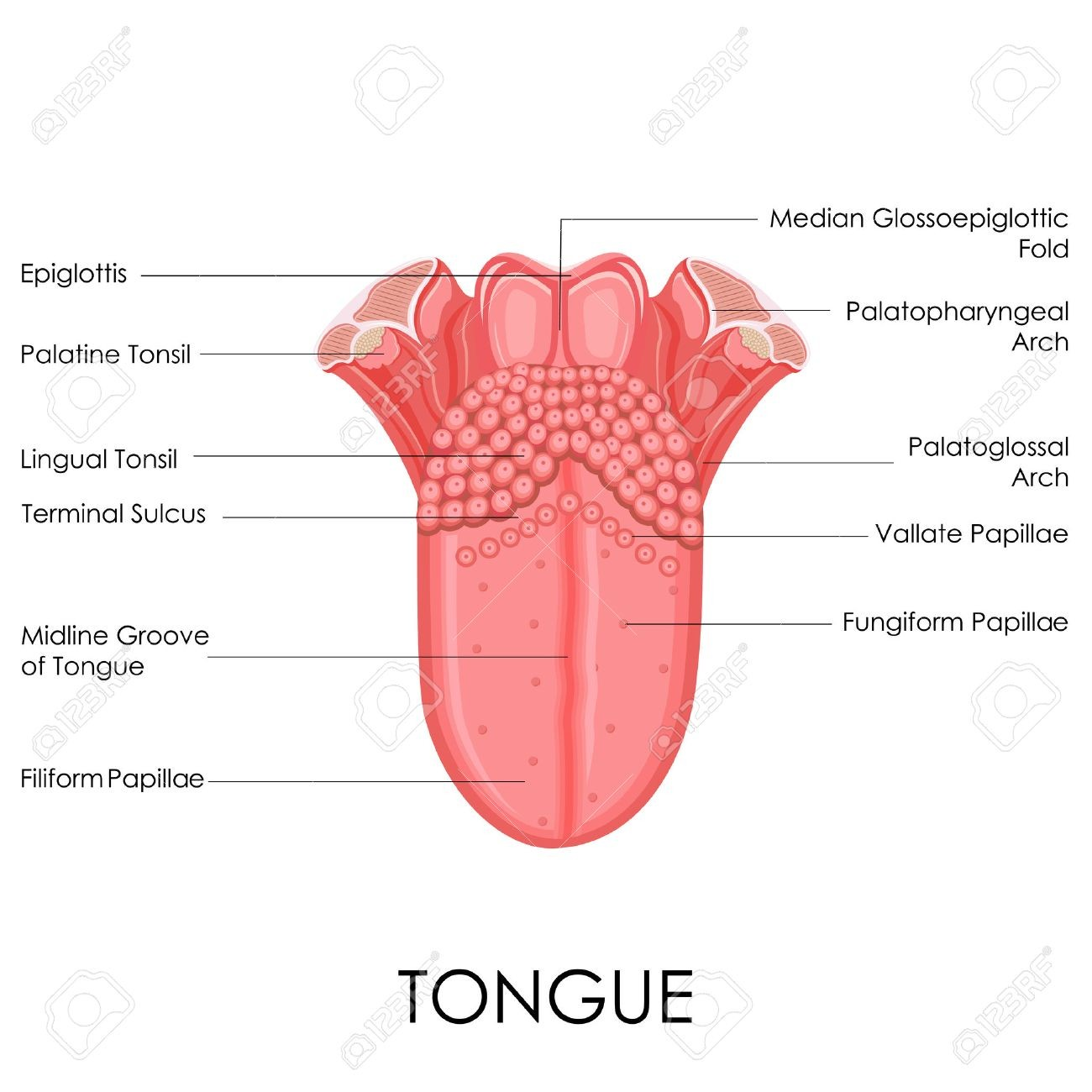 Tongue Anatomy Gross View