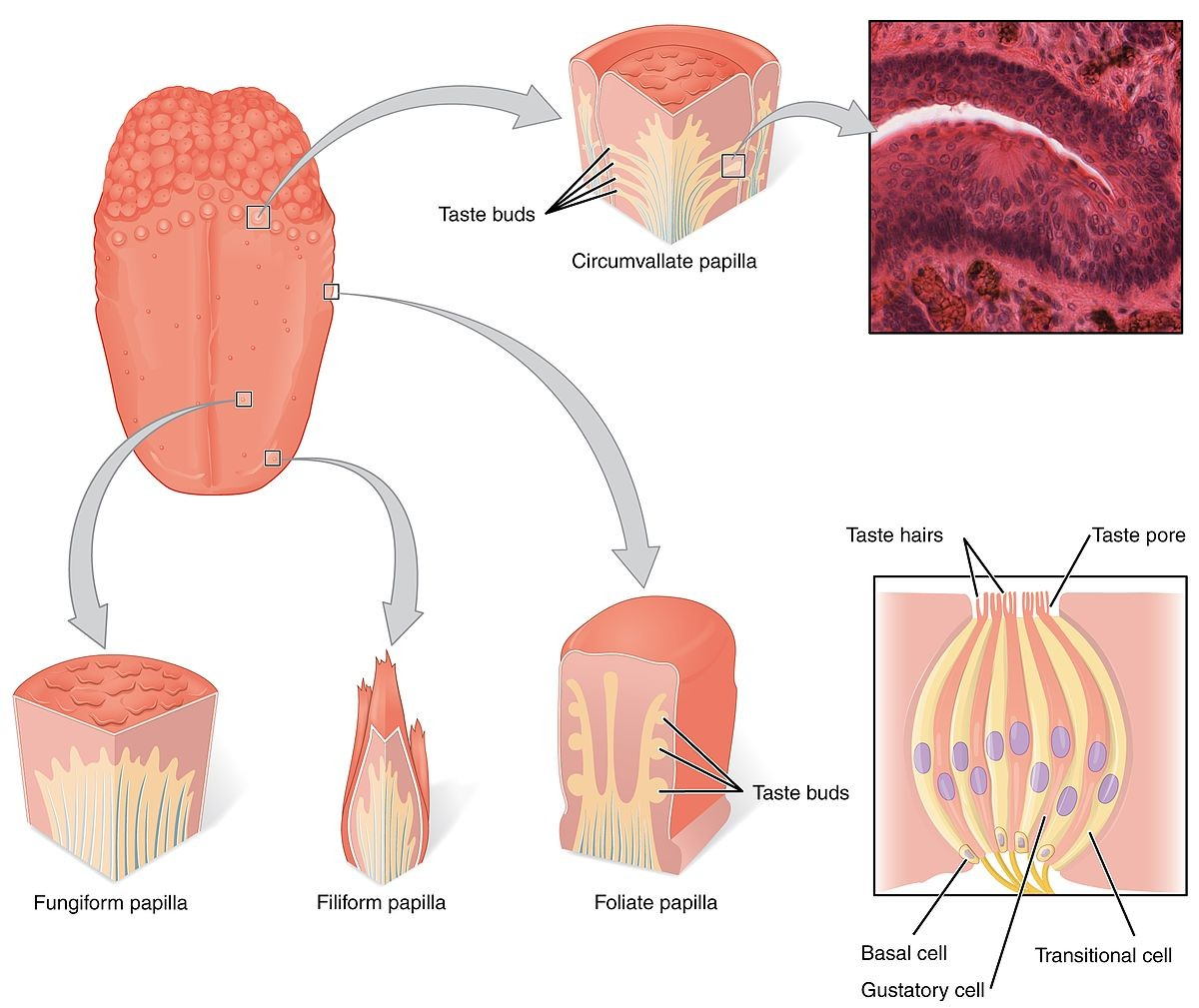 Tongue Taste Cell Location And Shape Anatomy