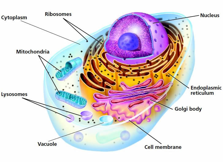 Animal Cell Structure