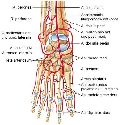 Anterior Aspect Of Foot Artery Supplement Diagram