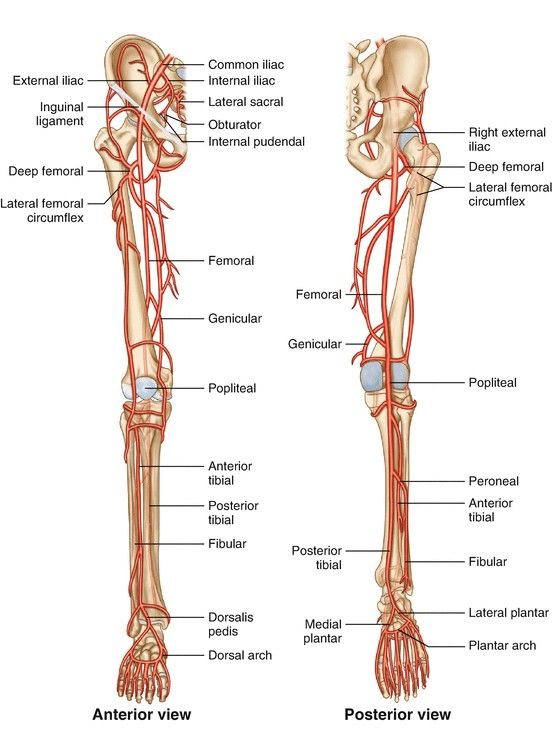 lower extremities diagram anterior view and posterior view of lower extremities blood  lower extremities blood