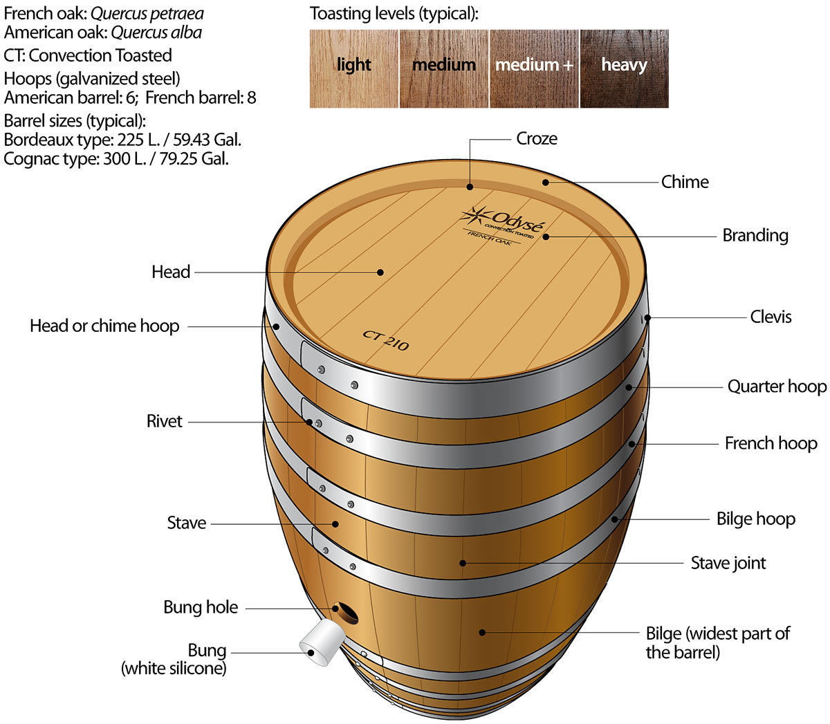 Barrel Anatomical Structure