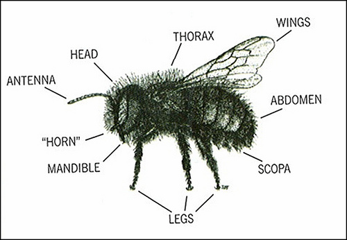 Bee Anatomy External View