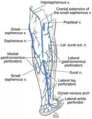 Great Saphenous Vein Anatomical Location
