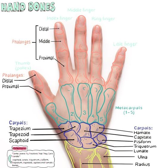 Hand Bone Anatomical Landmark