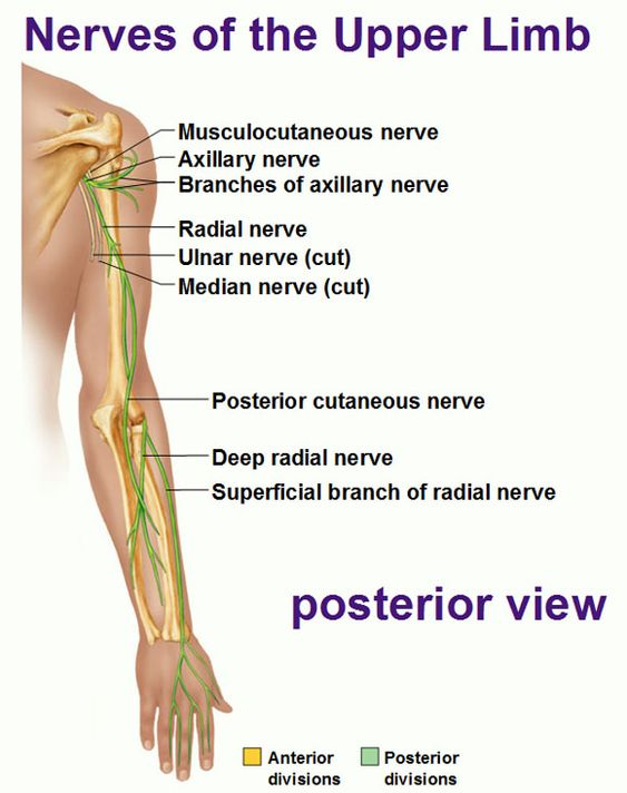 Nerves Of The Upper Limb Posterior View Diagram