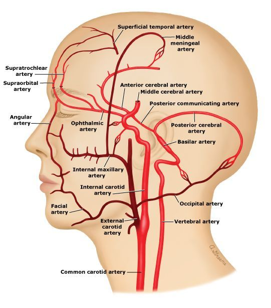 Vessel Pathway Of The External Carotid Artery Diagram