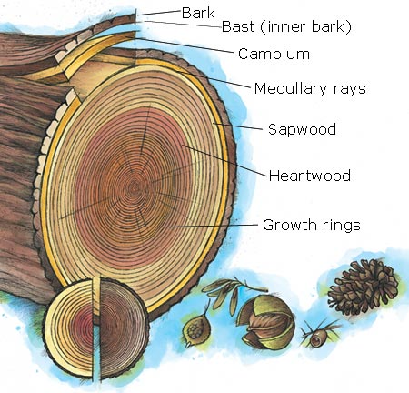 Wood Structure Anatomy