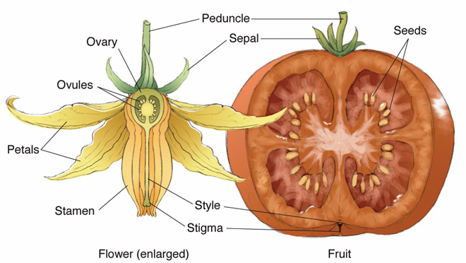 Tomato Sectional View And Flower