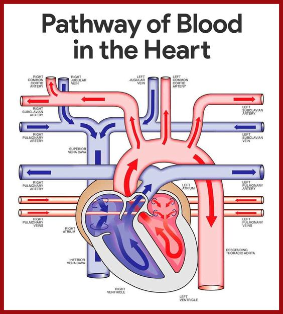 Pathway Of Blood In The Heart Diagram