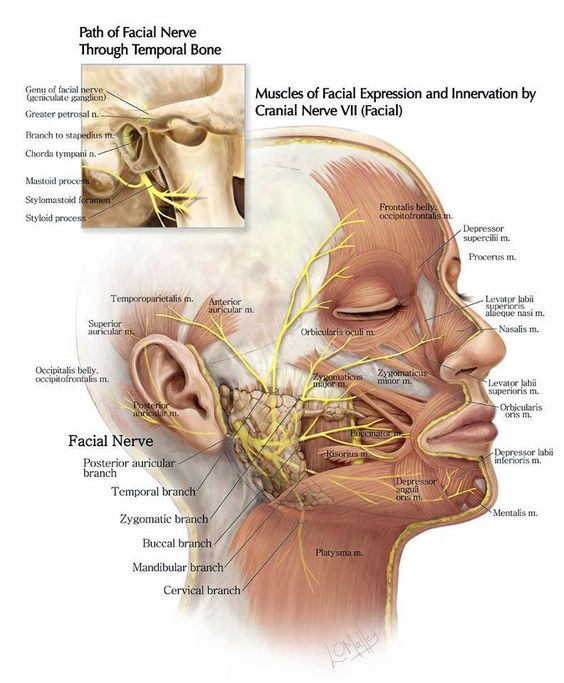 The Path Of The Facial Nerve In Detail