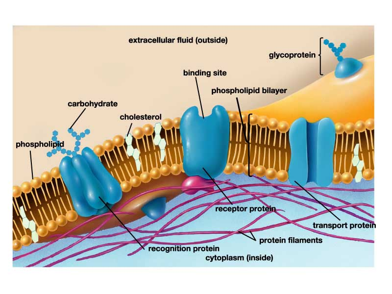 Cell Membrane Structure In Detail