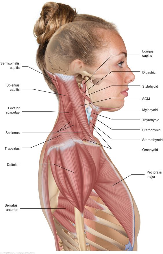 Lateral View Of Neck, Shoulder Muscles Anatomy